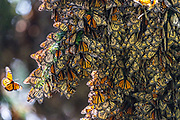 A monarch butterfly tries to land on a branch filled with a mass of hibernating monarchs as they over-winter in the Sierra Chincua Biosphere Reserve January 20, 2020 near Angangueo, Michoacan, Mexico. The monarch butterfly migration is a phenomenon across North America, where the butterflies migrates each autumn to overwintering sites in Central Mexico.