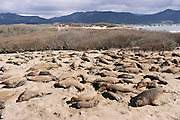 (1992) Elephant seals at Ano Nuevo State Reserve in California. Skin samples are collected for the Dr. B. Leboef study to determine if high social dominance is correlated to reproductive success and if the proportion of copulations a male obtains is proportional to the number of offspring sired. DNA Fingerprinting..