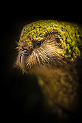 Kakapo portrait, endangered, New Zealand