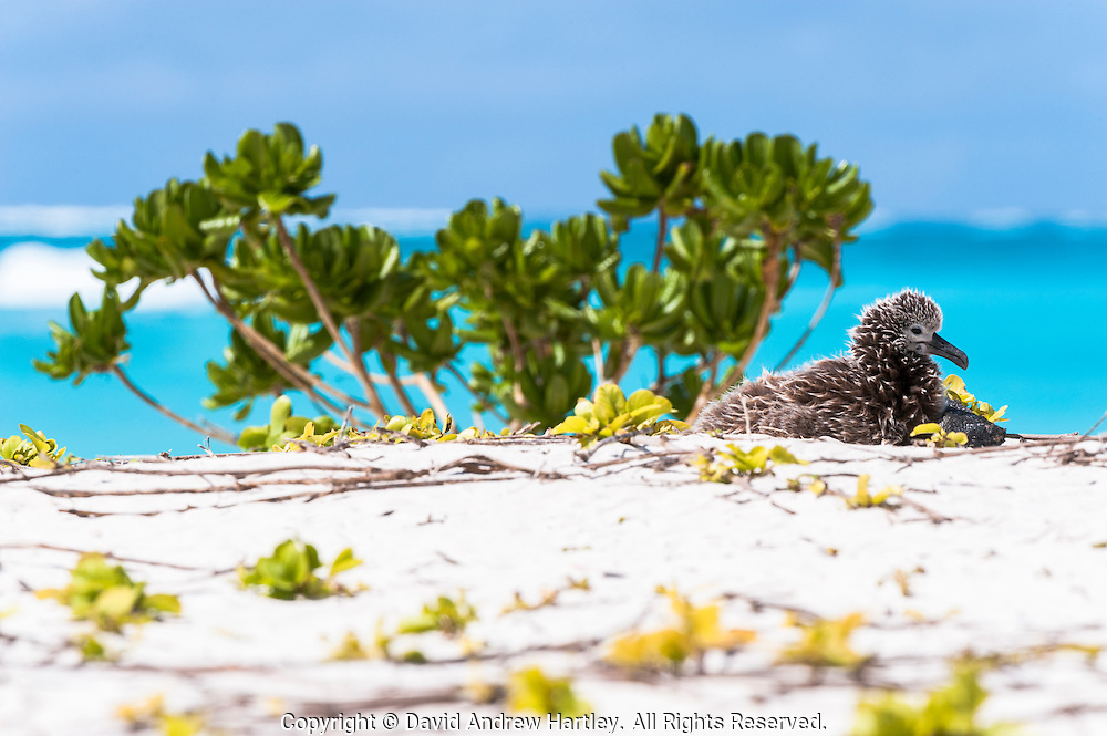 A Black-footed Albatross (Phoebastria nigripes) chick waits patiently on a beach, Midway Atoll National Wildlife Refuge.