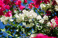 Bougainvillea flowering in hot pink and cool white against a deep blue sky.