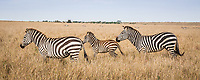 Zebra on the Masai Mara, Kenya.