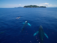 Humpback Whale (Megaptera novaeangliae)<br />A group of approx four whales travels through Coiba National Park waters with dolphins riding on their bow waves.<br /><br />with Contreras Islands, Coiba National Park, Panama in background