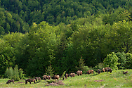 Release of European bison, Bison bonasus, in the Tarcu mountains nature reserve, Natura 2000 area, Southern Carpathians, Romania. The release was actioned by Rewilding Europe in May 2014. A day later, all in one harmonious herd, slowly grazing the fresh grass here.