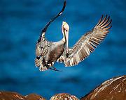 A brown pelican lands in La Jolla California