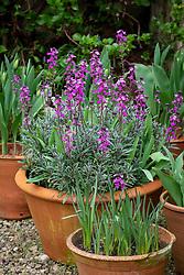 Container planting of Erysimum 'Bowles's Mauve' AGM syn. Erysimum linifolium glaucum, E. linifolium 'Bowles' Mauve' - Wallflower - underplanted with tulips.