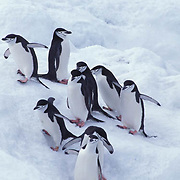 Chinstrap Penguin, (Pygoscelis antarctica) On Zavadoski Island. South Sandwich Islands.