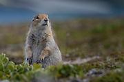An arctic ground squirrel (Spermophilus parryii) observes its surroundings - Katmai, Alaska