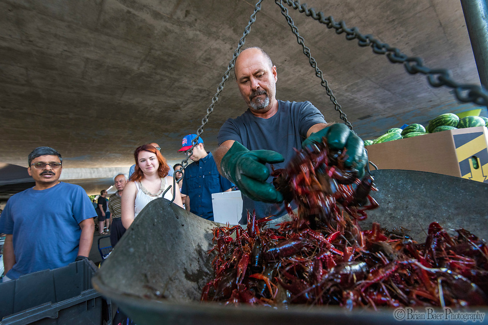 Kelly Hutson of Chico loads crayfish on to a scale during the Sacramento farmers market under Highway 50, Sunday Sep 10, 2017. photo by Brian Baer