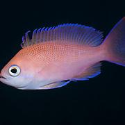Female pink basslet (Pseudanthias hypselosoma)