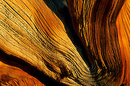 Bristlecone Pine (detail) at sunset, Ancient Bristlecone Pine Forest, White Mountains, CALIFORNIA