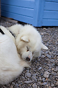 Sleepng white husky, or sled dog, at the scientific research base of Ny Alesund, Svalbard