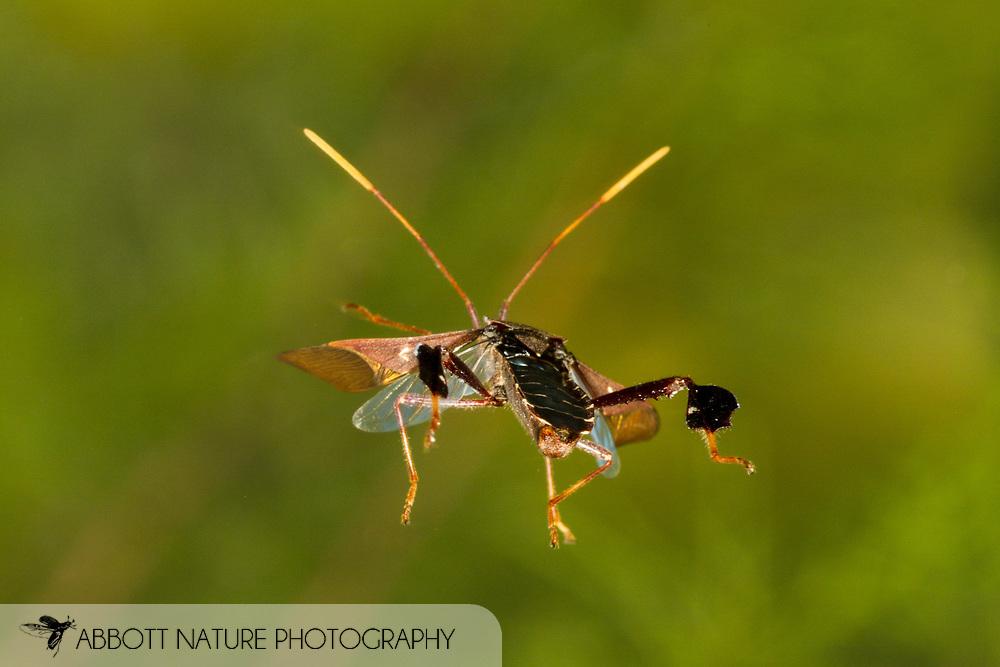 Leaf-footed Bug (Leptoglossus oppositus) flying<br /> United States: Alabama: Tuscaloosa Co.<br />Tulip Tree Springs off Echola Rd.; Elrod<br />20-Jul-2016<br />J.C. Abbott #2849
