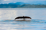 A Humpback Whale swims in the Inside Passage between Vancouver Island and the British Columbia coastline.