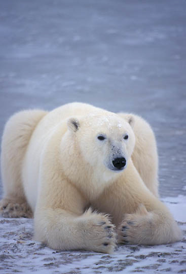 Polar Bear, (Ursus maritimus) Adult resting on frozen ice of Churchill, Manitoba. Canada.