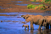 Elephant family, Uwaso nyaro river, Samburu National Reserve, Kenya