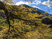 In late summer, a forest of Southern Beech (Lenga or Nothofagus) turns gold in Torres del Paine National Park, Chile. The foot of South America is known as Patagonia, a name derived from coastal giants, Patagão or Patagoni, who were reported by Magellan's 1520s voyage circumnavigating the world and were actually Tehuelche native people who averaged 25 cm (or 10 inches) taller than the Spaniards.