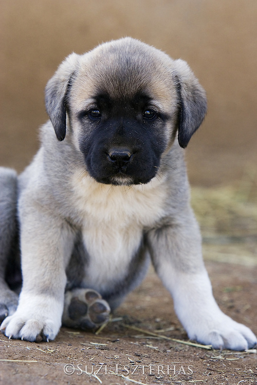 Anatolian Shepherd Puppies<br /> (Cheetah conservationists currently use anatolian shepherds as a cheetah deterrant for livestock protection)<br /> Cheetah Conservation Fund, Namibia