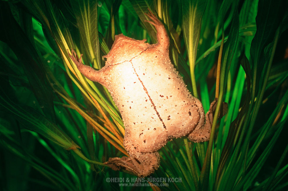 DEU, Deutschland: Wabenkröte (Pipa pipa) unter Wasser zwischen Wasserpflanzen, rein aquatisch lebende Kröte, flacher Körperbau, Herkunft: Surinam | DEU, Germany: Surinam Toad (Pipa pipa) under water between water plants, aquatic toad, flat body, origin: Suriname | ..