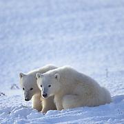 Polar bear (Ursus maritimus) cubs. Hudson Bay, Canada