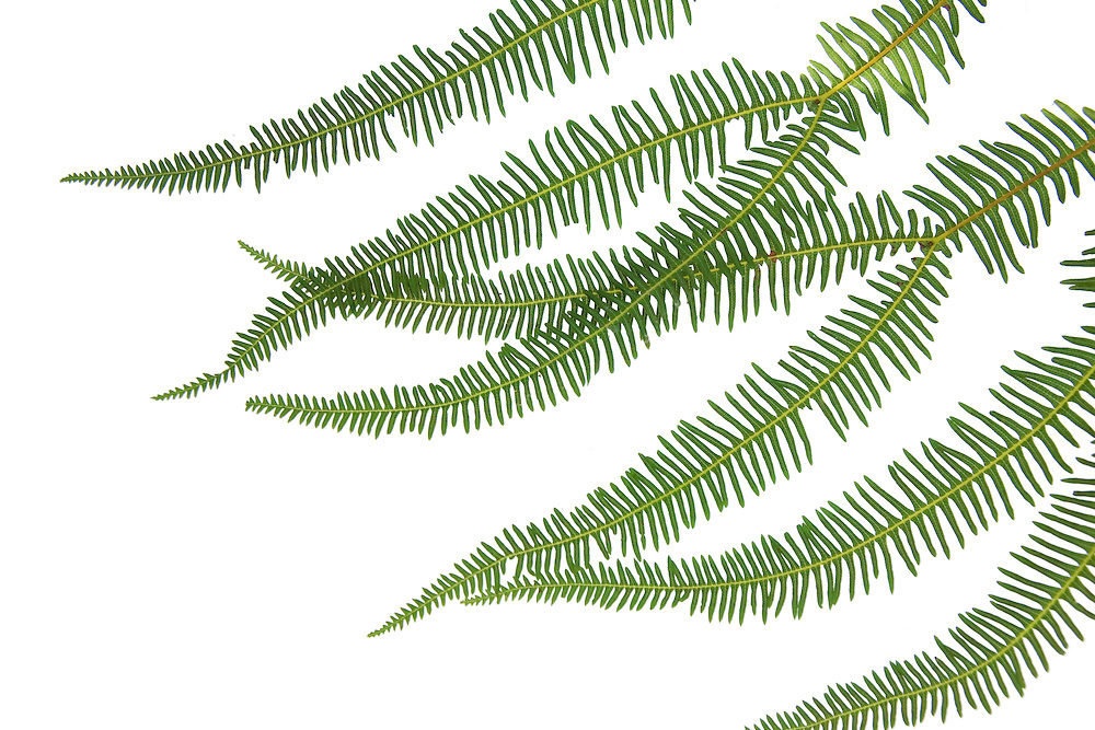 Spreading Fan Fern, Sticherus lobatus