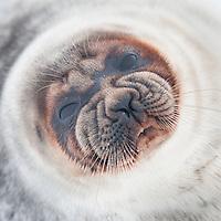 Portrett av ringsel hunn på isen i Tempelfjorden, Spitsbergen, Svalbard. Mars.
