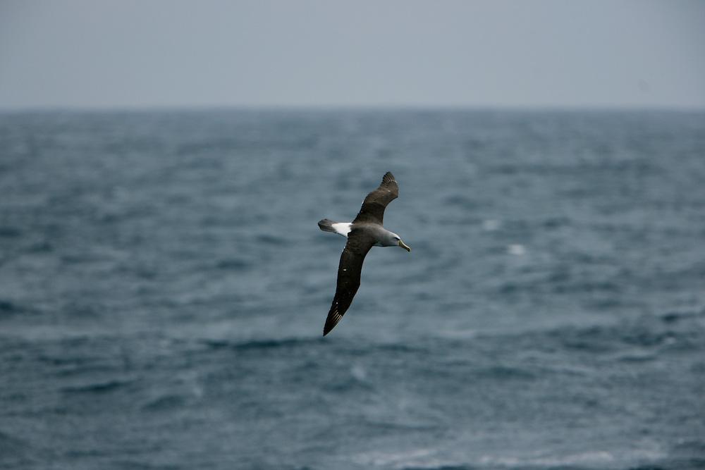 Jan. 29, 2007. Southern Ocean. An Albatross flies across the Southern Ocean.