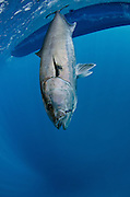 Greater Amberjack caught by fisherman  for Sports Fishing.<br /> (Seriola dumerili)<br /> Isla Mujeres<br /> MEXICO