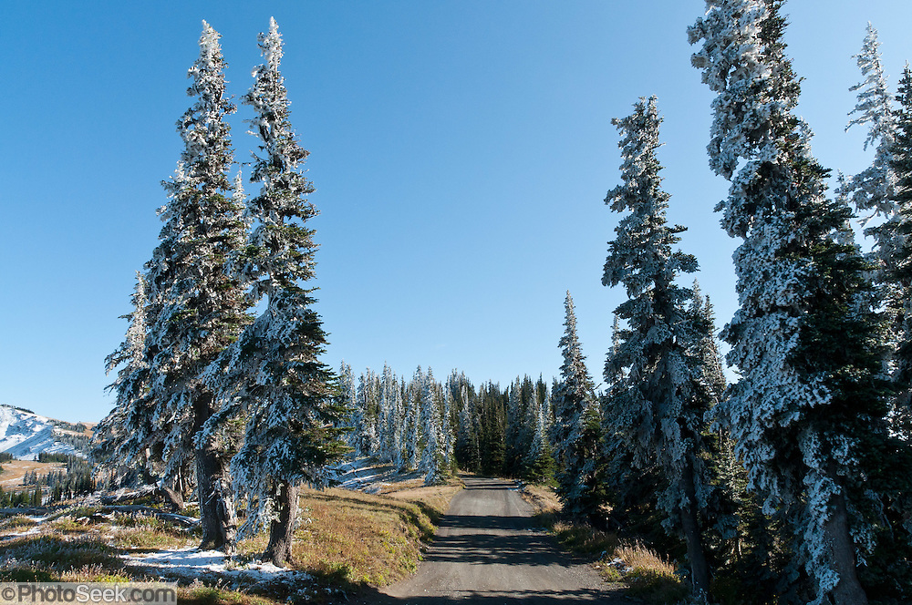 An overnight wind had coated trees with sheets of ice and rime by the time we arrived one frosty morning on Obstruction Point Road, Hurricane Ridge, Olympic National Park, Jefferson County, Washington, USA.