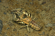 Spiny-Cheek Crayfish, Underwater