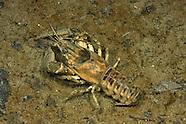 Spiny-Cheek Crayfish, Underwater