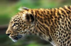Leopard (Panthera pardus) walking close-up, Masai Mara, Kenya