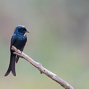 The bronzed drongo (Dicrurus aeneus) is a small Indomalayan bird belonging to the drongo group. They capture insects flying in the shade of the forest canopy by making aerial sallies from their perches. They are very similar to the other drongos of the region but are somewhat smaller and compact with differences in the fork depth and the patterns of gloss on their feathers.