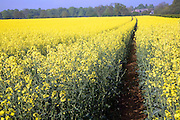Yellow blossom of oil seed rape crop growing in a field