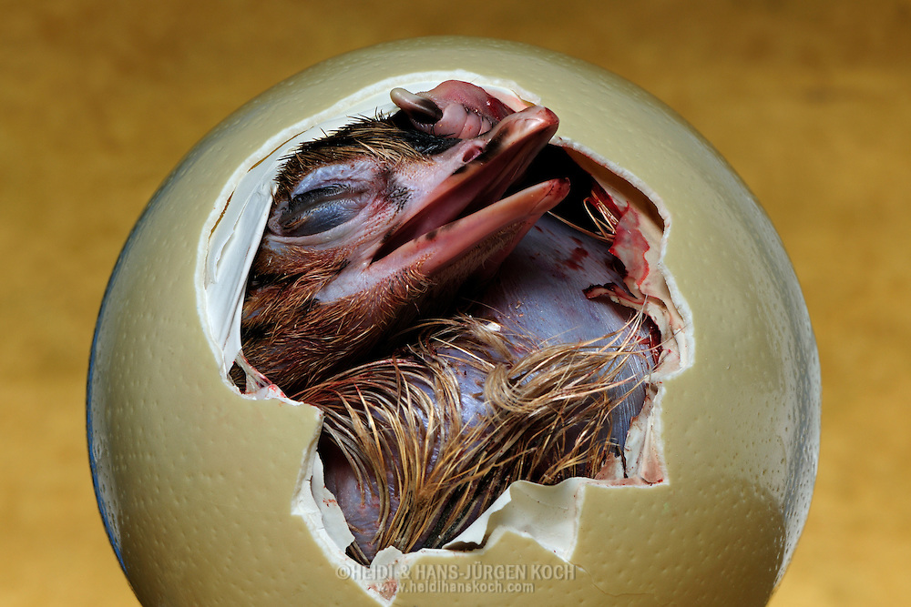 """Ostrich, Struthio camelus, early stage of hatching; ostrich chicks haven't egg tooth for breaking the hard shell, the egg will be burst by inflated throat musculature. After this feat the chick has to rest for several hours, before the chick leaves the egg. Weight until 1900 g, diameter circa 15 centimetre, breeding time 6 weeks, ostriches are precocial animals. Distribution: Africa. This picture is part of the series """"Escape into life""""..Afrikanischer Strauß, Struthio camelus, frühe Phase des Schlüpfens;  Straußen-Küken besitzen keinen Eizahn zum Aufbrechen der harten Schale; das Ei wird durch die stark aufgepumpte Halsmuskulatur aufgesprengt. Nach diesem Kraftakt muss sich das Küken  erst einmal mehrere Stunden ausruhen, bevor es allmählich das Ei verlassen kann. Gewicht bis etwa 1900 Gramm, Durchmesser ca. 15 Zentimeter,  Brutzeit 6 Wochen. Strauße sind Nestflüchter. Verbreitung: Afrika. Diese Bild ist Teil der Serie ,,Ausbruch ins Leben""""."""