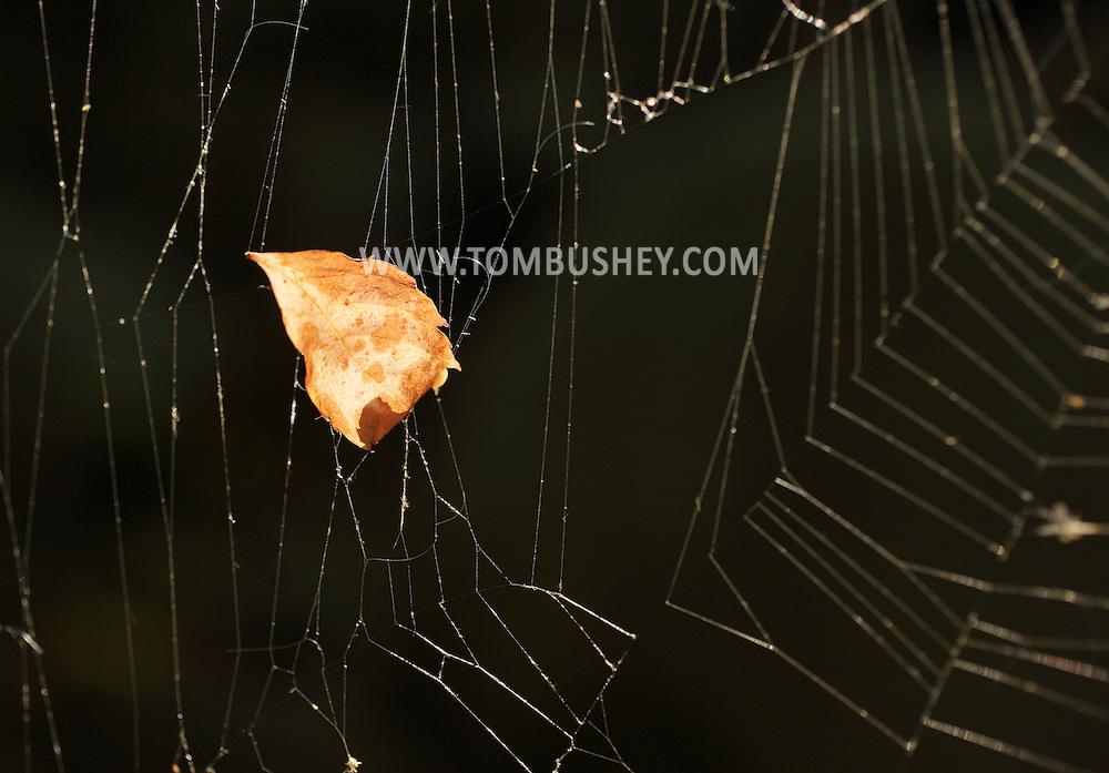 Salisbury Mills, New York -  A fallen leaf hangs in a spider web on Sept. 25, 2010.