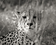 Leopard Watching Prey