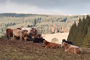 Cattle surround feeding byre, Ae Village