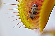 Venus Flytrap, reopening after sucking out the juices from this fly.
