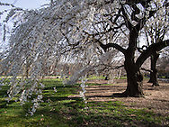 Spring blossoms on the Great Lawn in Central Park.