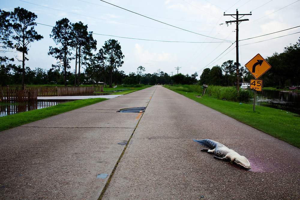 A dead alligator lies in the road where it was killed while crossing from the canal early in the morning on July 6, 2010 near Houma, Louisiana.