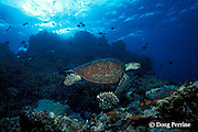 green sea turtle, Chelonia mydas, Pixie Pinnacle, Ribbon Reefs, northern Great Barrier Reef, Australia