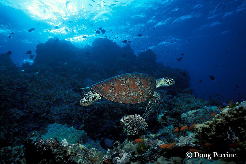 green sea turtle, Chelonia mydas, Pixie Pinnacle, Ribbon Reefs, northern Great Barrier Reef, Australia