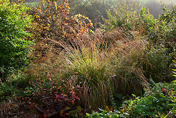 Autumn rain on self sown Molinia in a border at Glebe Cottage in autumn