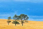 Three tree and crop with stormy sky<br /> Ernhold<br /> Saskatchewan<br /> Canada