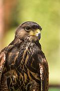 Captive immature Harris' Hawk (Parabuteo unicinctus)