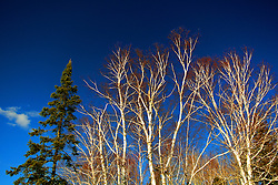 White birch trees in the Chequamegon National Forest in Northern Wisconsin.