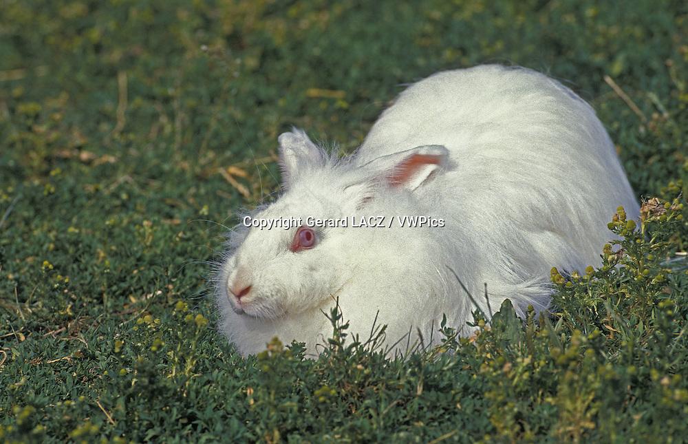 Angora Domestic Rabbit laying on Grass