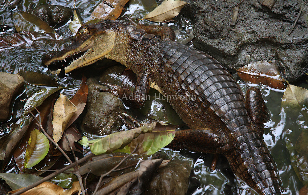 Spectacled Caiman (caiman crocodilus) searching for prey in semi-dry stream bed.  Corcovado National Park, Osa Peninsula, Costa Rica. <br />