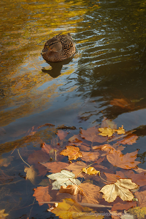 Leaves float in the water as in the background a curious duck comes to investigate
